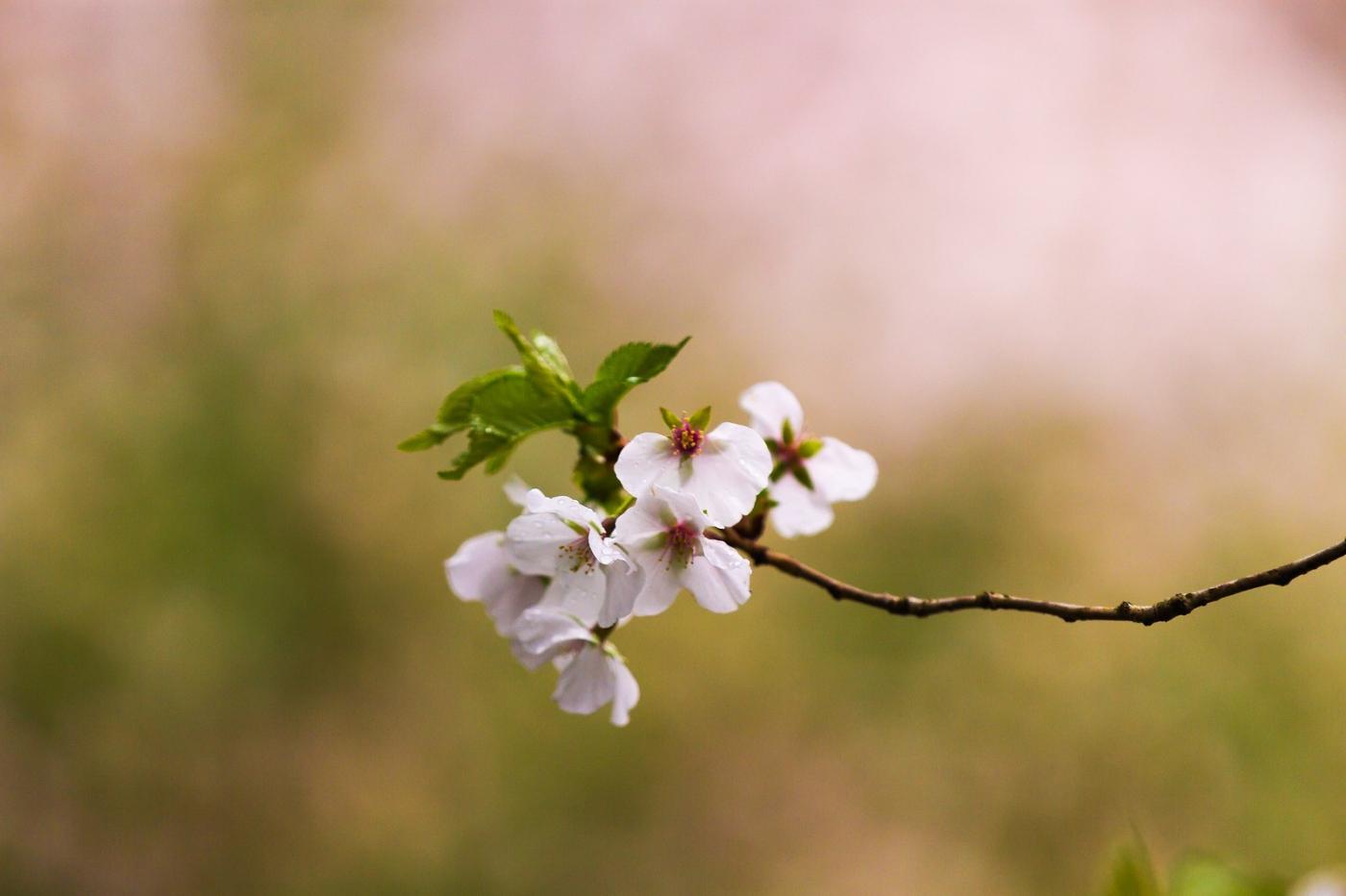 白色李花,粉色芯_圖1-7