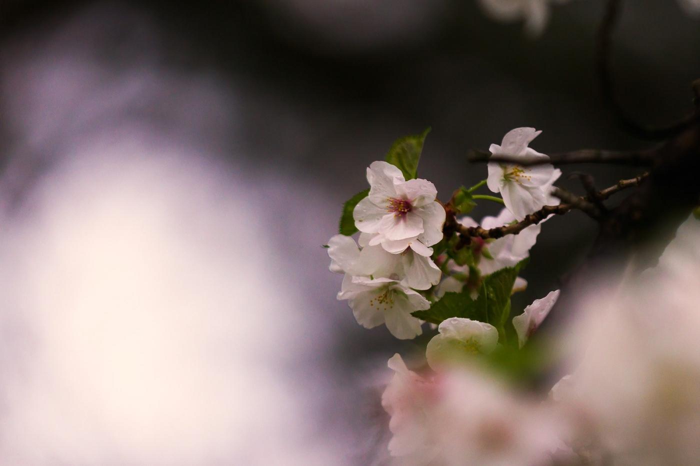 白色李花,粉色芯_圖1-6