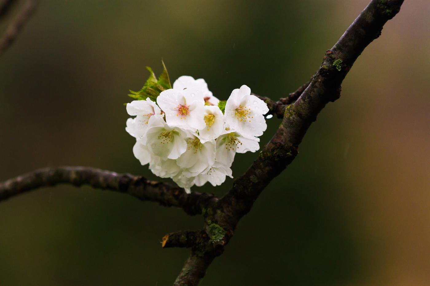 白色李花,粉色芯_圖1-1