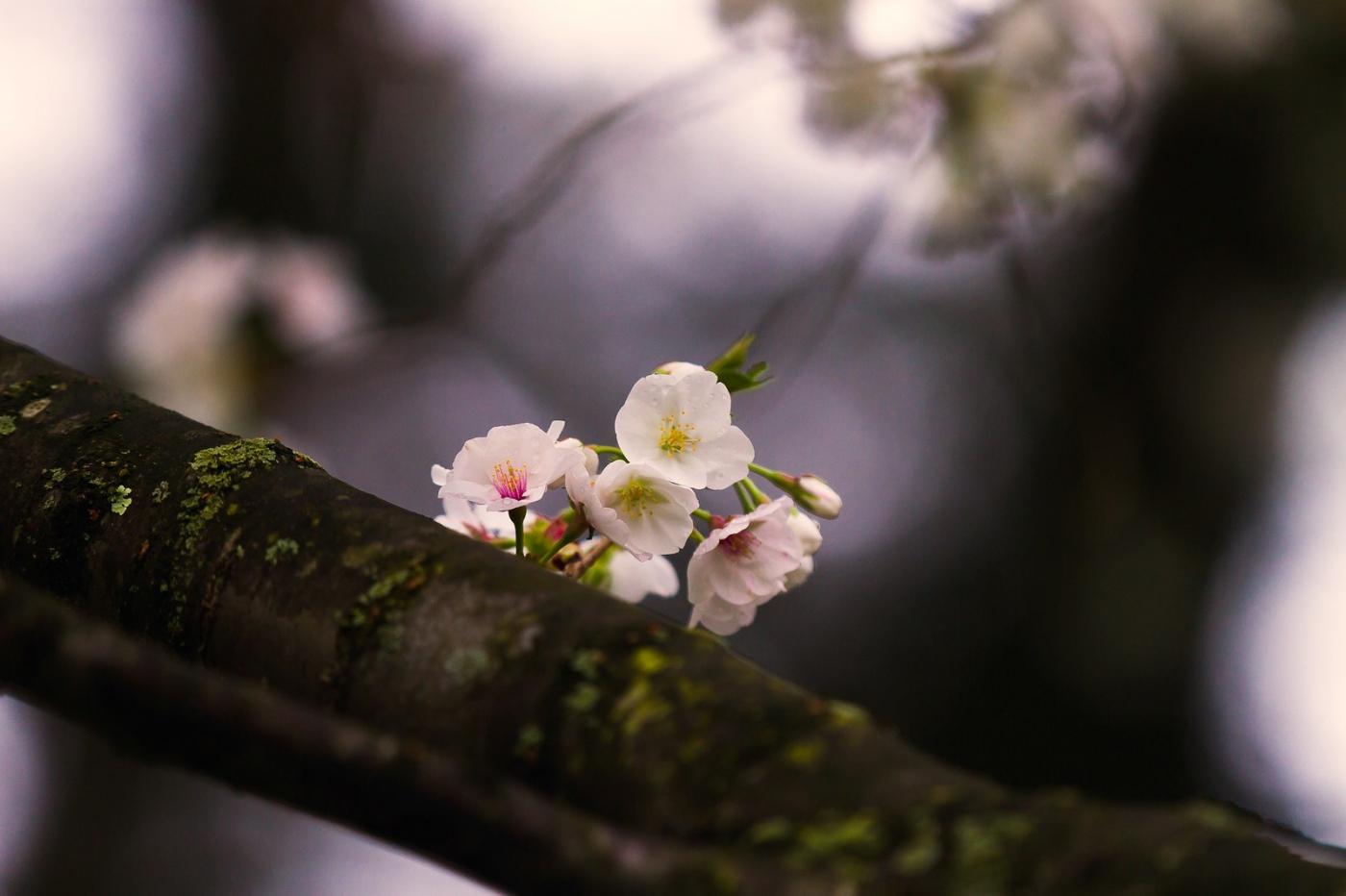 白色李花,粉色芯_圖1-2