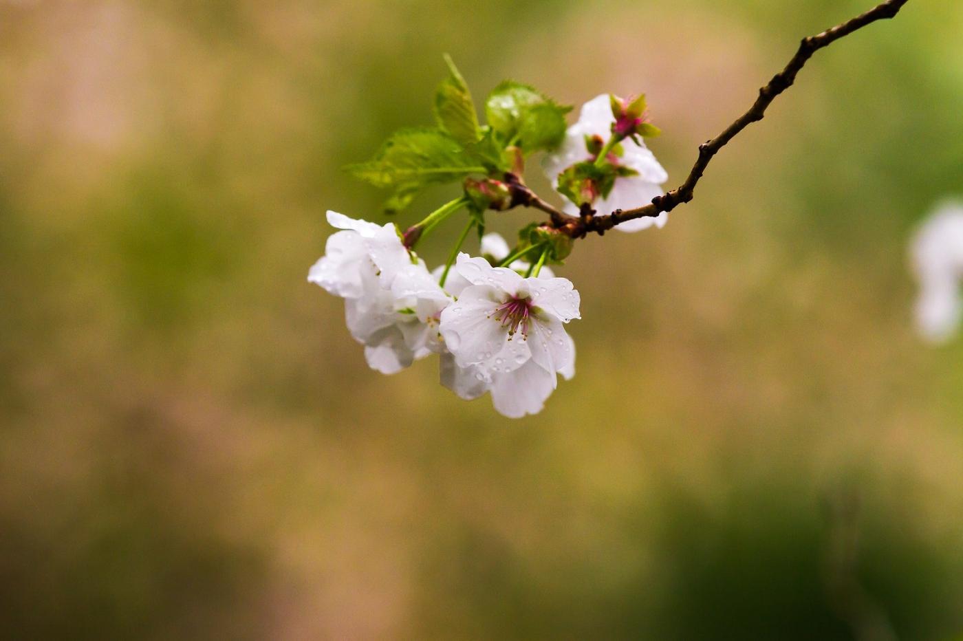 白色李花,粉色芯_圖1-3