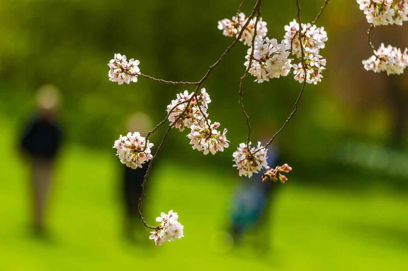 白色李花,粉色芯_圖1-4