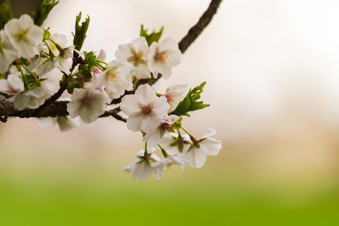 白色李花,粉色芯_圖1-5