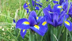 前院正在盛放的鸢尾花