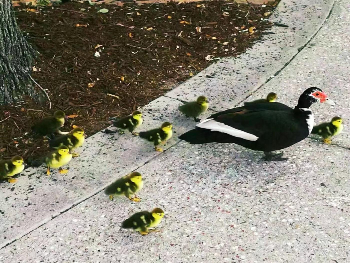 劳德代尔堡公园的一窝水鸟(图)_图1-6