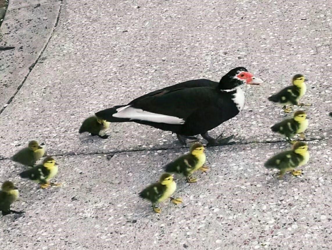 劳德代尔堡公园的一窝水鸟(图)_图1-8