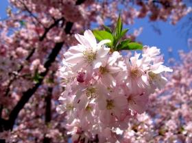 """史岛""""山樱桃""""樱花"""
