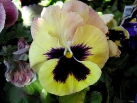 百花争春----三色堇