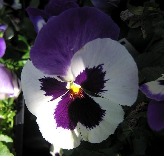 百花爭春----三色堇_圖1-8