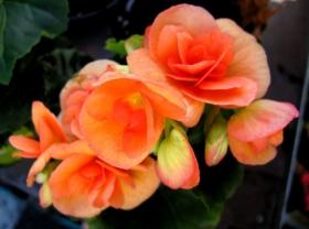 百花争春----四季海棠