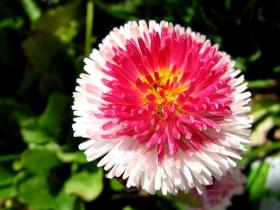 百花争春----雏菊