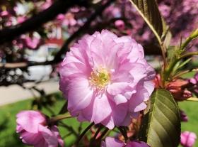 【田螺手机摄影】我小区的樱花全面盛开