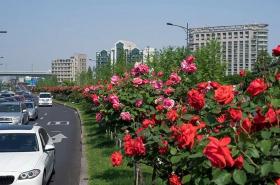 杭州路边月季花
