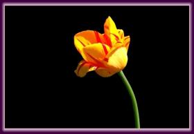 暮春时节的郁金香