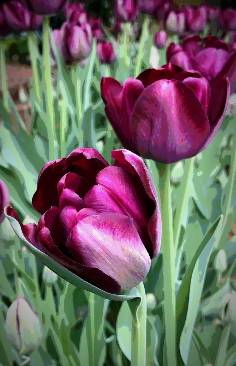 【田螺手机摄影】我后院的紫金香也全部开了_图1-11