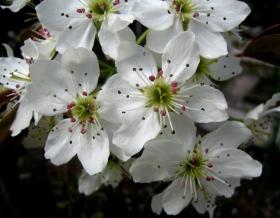 梨花与百合