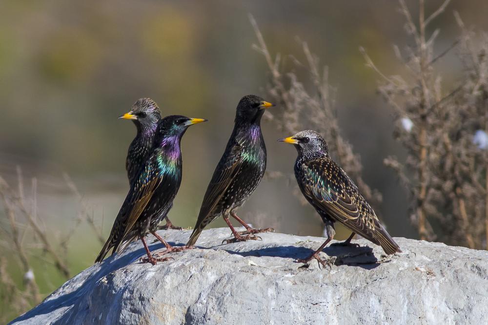 紫翅椋鳥_圖1-6