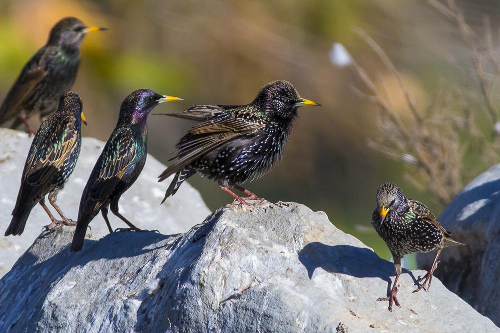 紫翅椋鳥_圖1-8