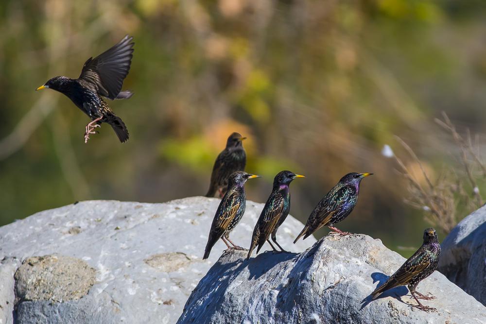 紫翅椋鳥_圖1-10