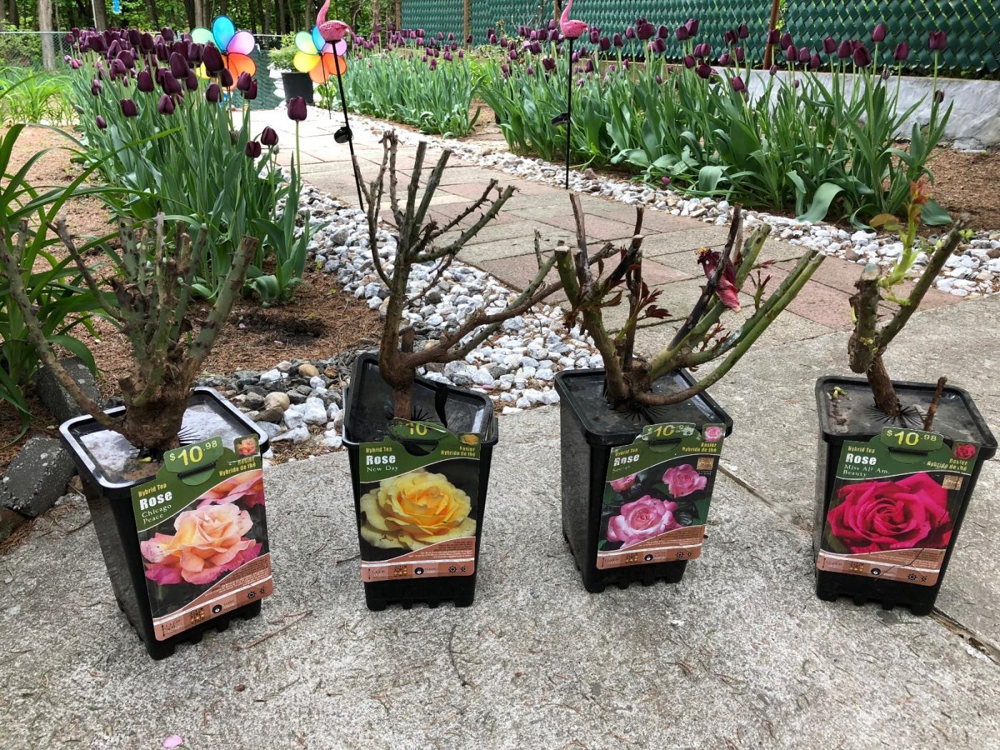 【田螺随拍】分享去THE HOME DEPOT红地铺买花的经验_图1-13