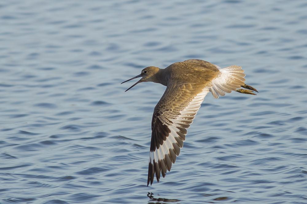 湿地拍的几只鹬_图1-2