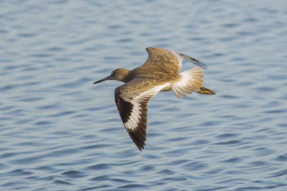 湿地拍的几只鹬_图1-3