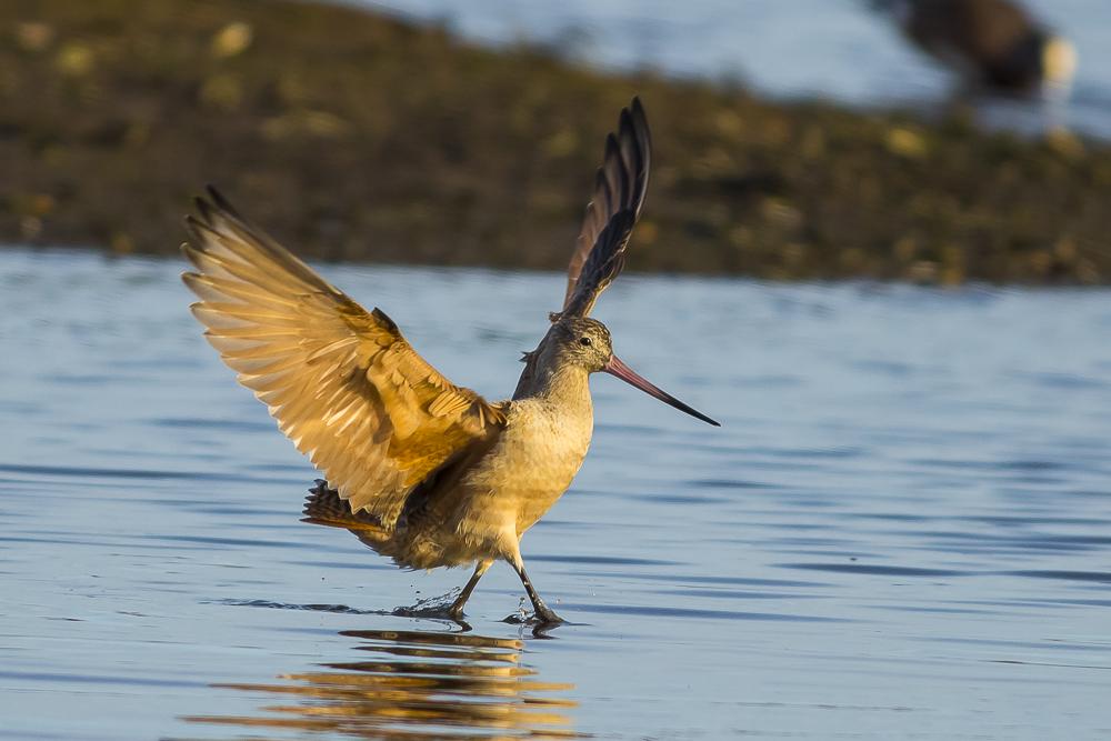 湿地拍的几只鹬_图1-13