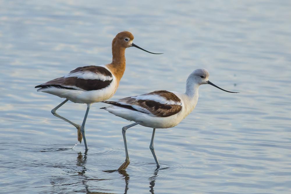 湿地拍的几只鹬_图1-18