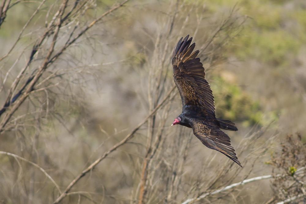火鸡秃鹰(红头美洲鹫)_图1-7