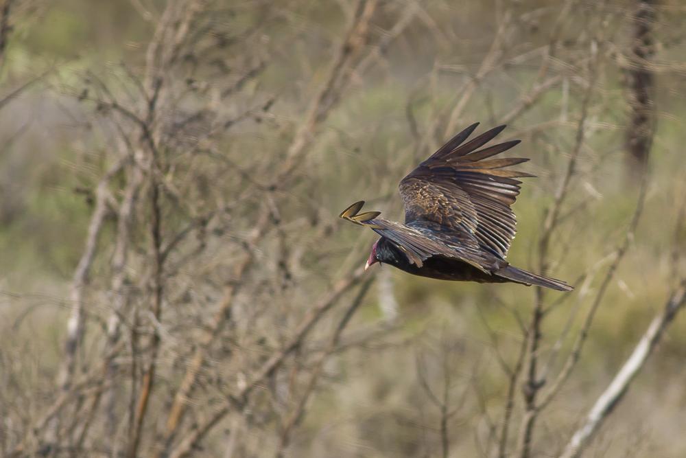 火鸡秃鹰(红头美洲鹫)_图1-8
