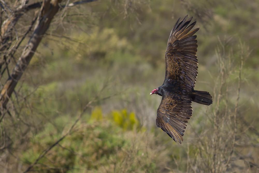 火鸡秃鹰(红头美洲鹫)_图1-10