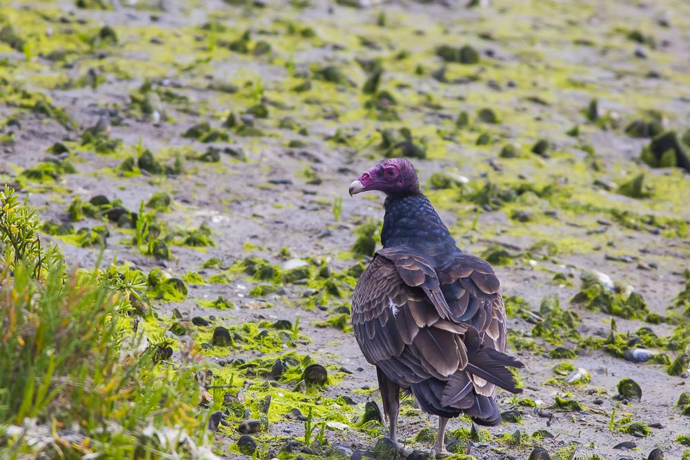 火鸡秃鹰(红头美洲鹫)_图1-3