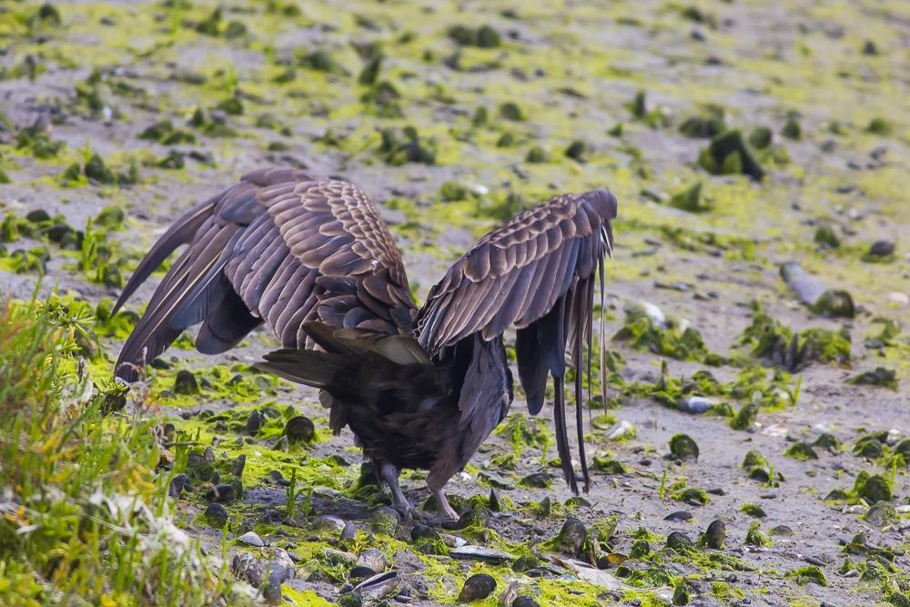 火鸡秃鹰(红头美洲鹫)_图1-4