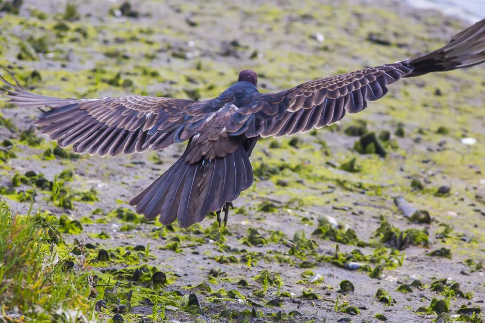 火鸡秃鹰(红头美洲鹫)_图1-5