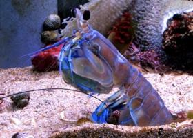 水族店内的濑尿虾