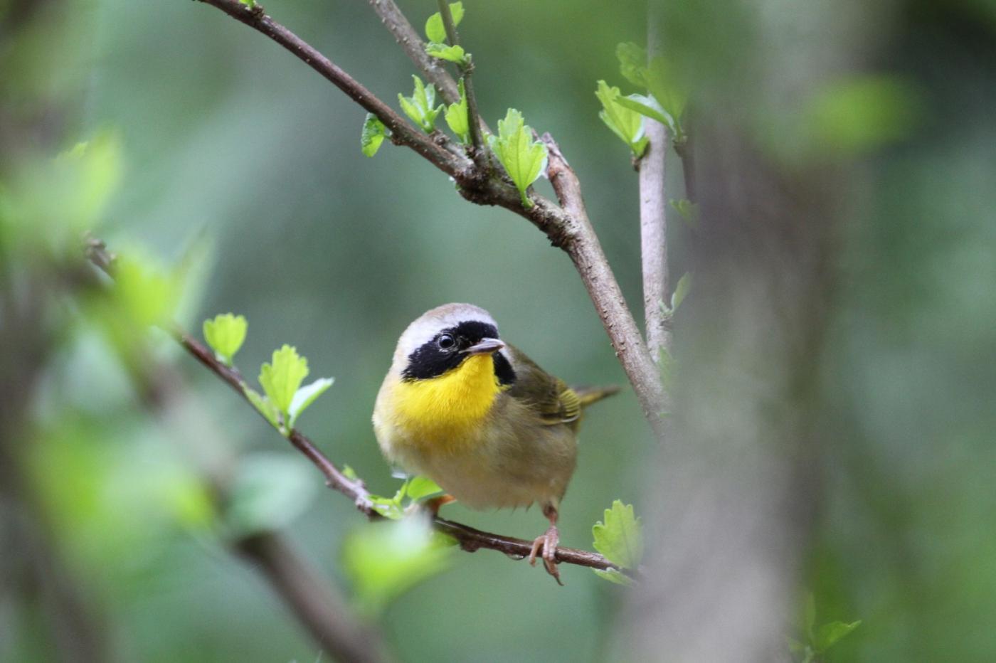 【田螺摄影】雨后窗外的小黄鸟_图1-2