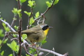 【田螺摄影】雨后窗外的小黄鸟