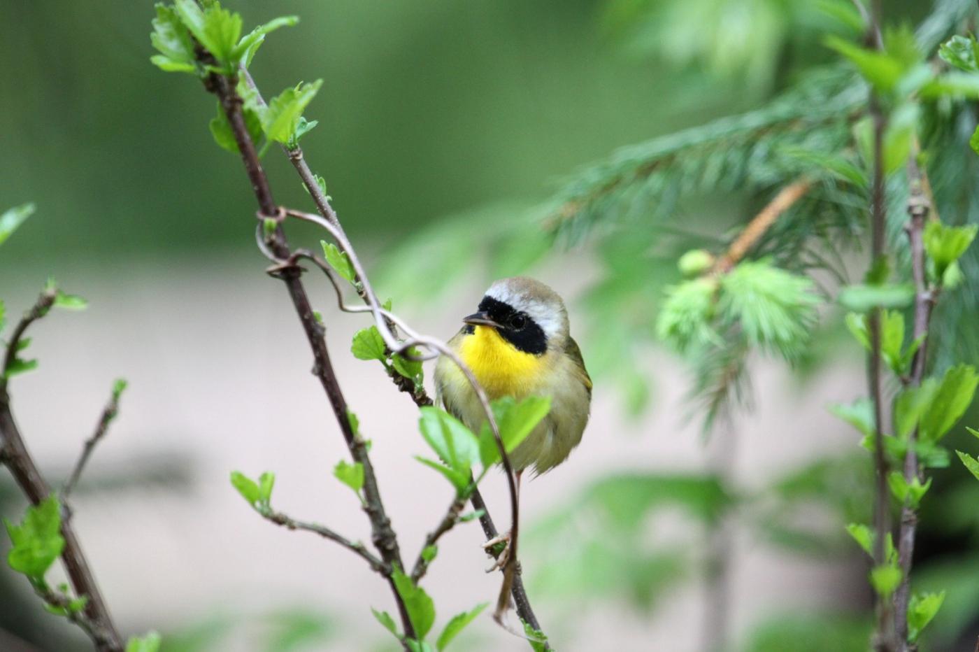 【田螺摄影】雨后窗外的小黄鸟_图1-3