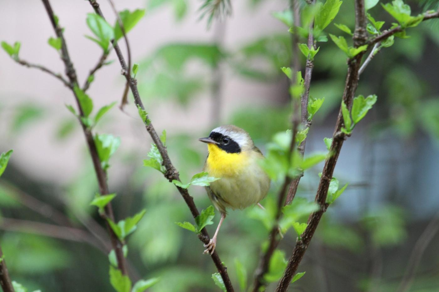 【田螺摄影】雨后窗外的小黄鸟_图1-4