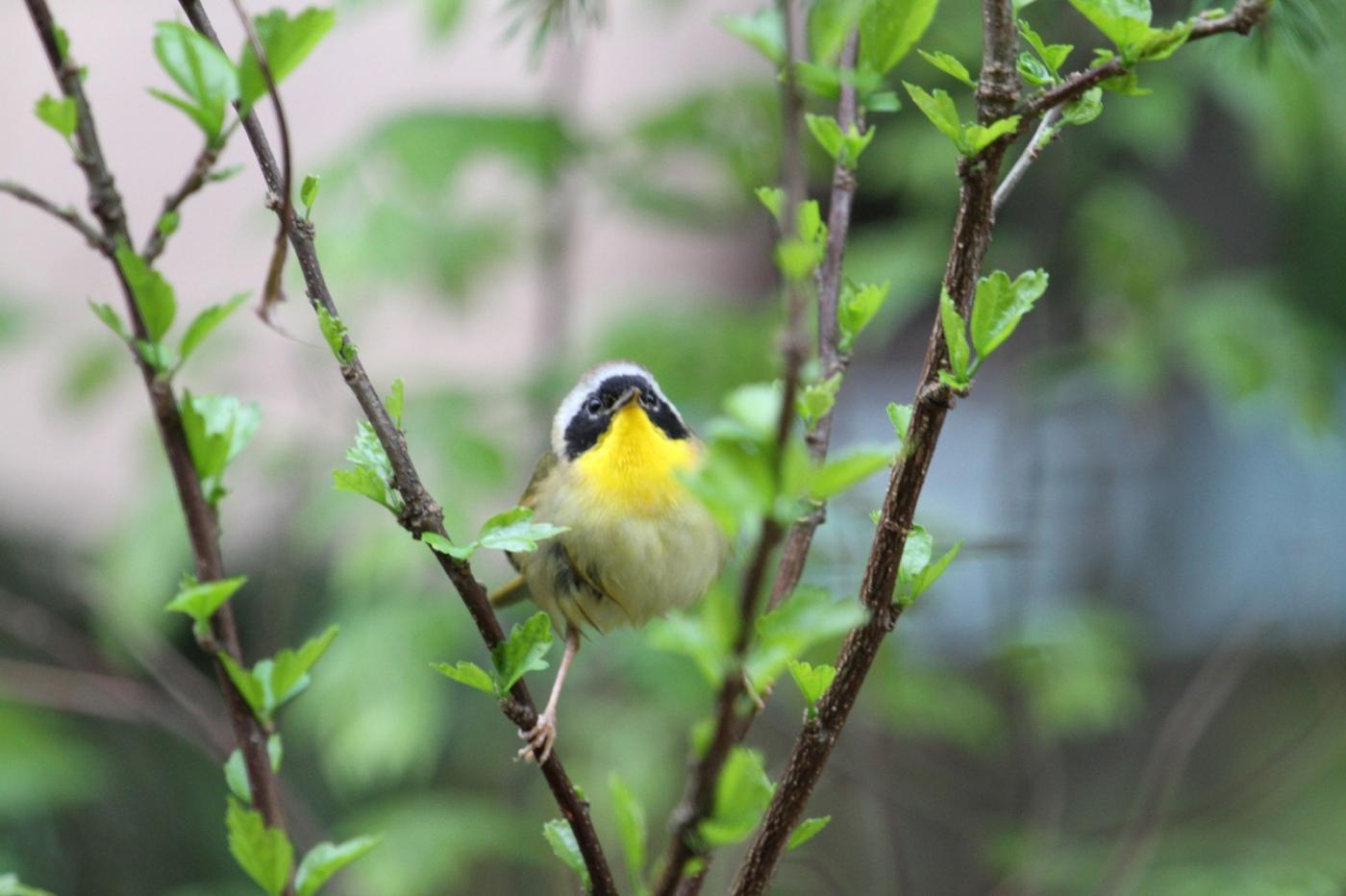 【田螺摄影】雨后窗外的小黄鸟_图1-5