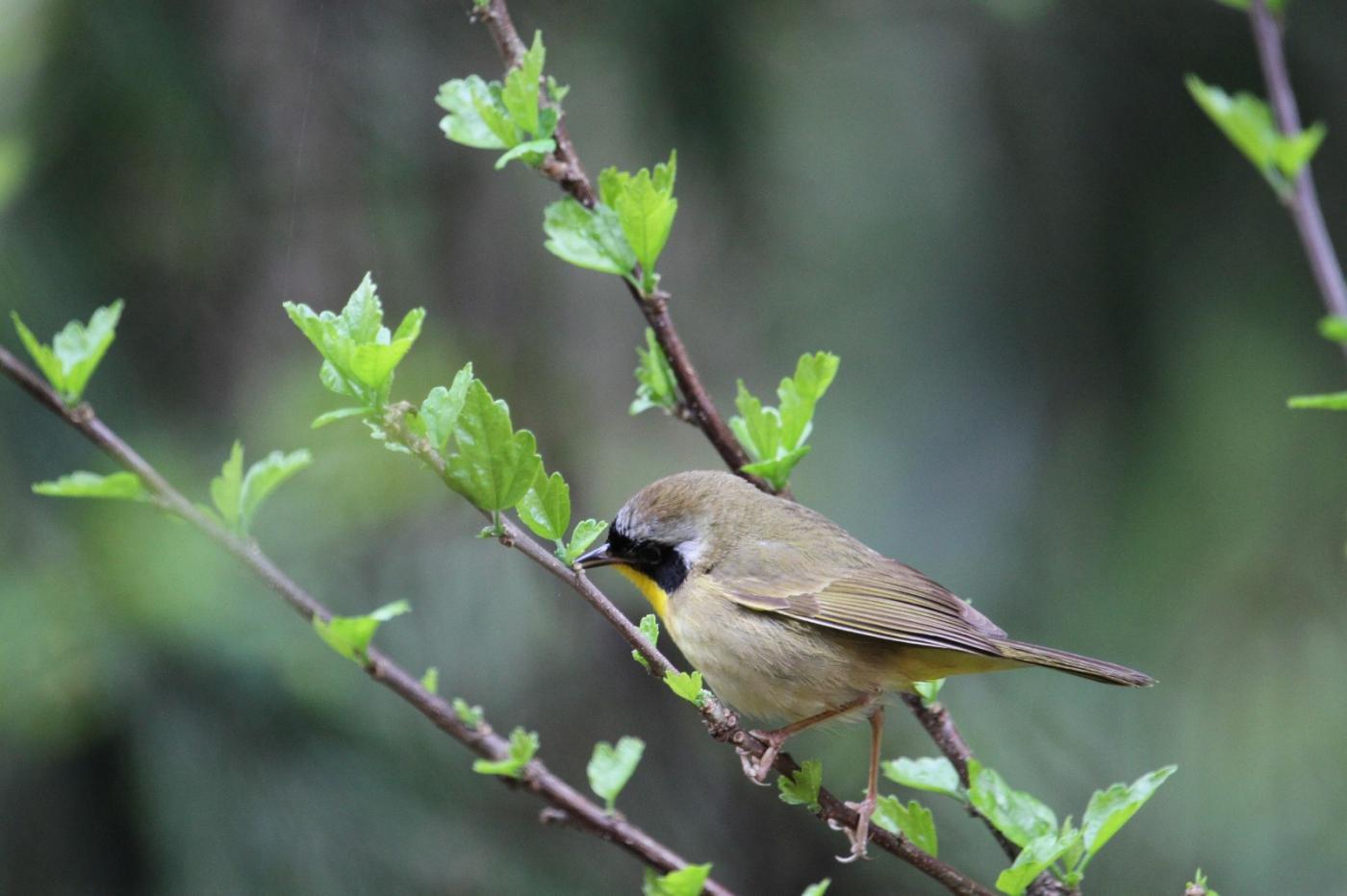【田螺摄影】雨后窗外的小黄鸟_图1-6