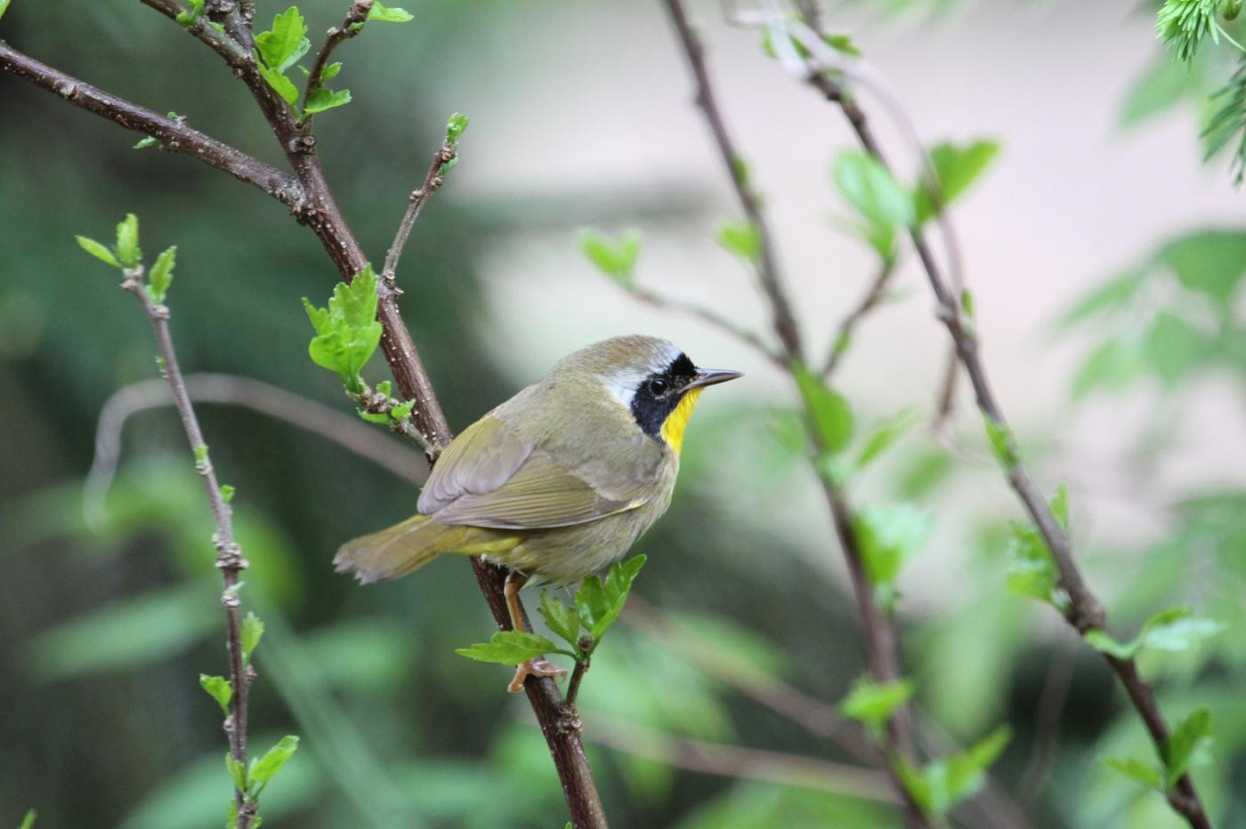 【田螺摄影】雨后窗外的小黄鸟_图1-8