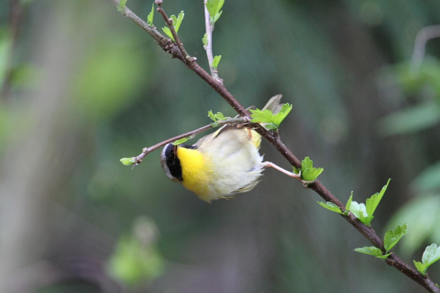 【田螺摄影】雨后窗外的小黄鸟_图1-9