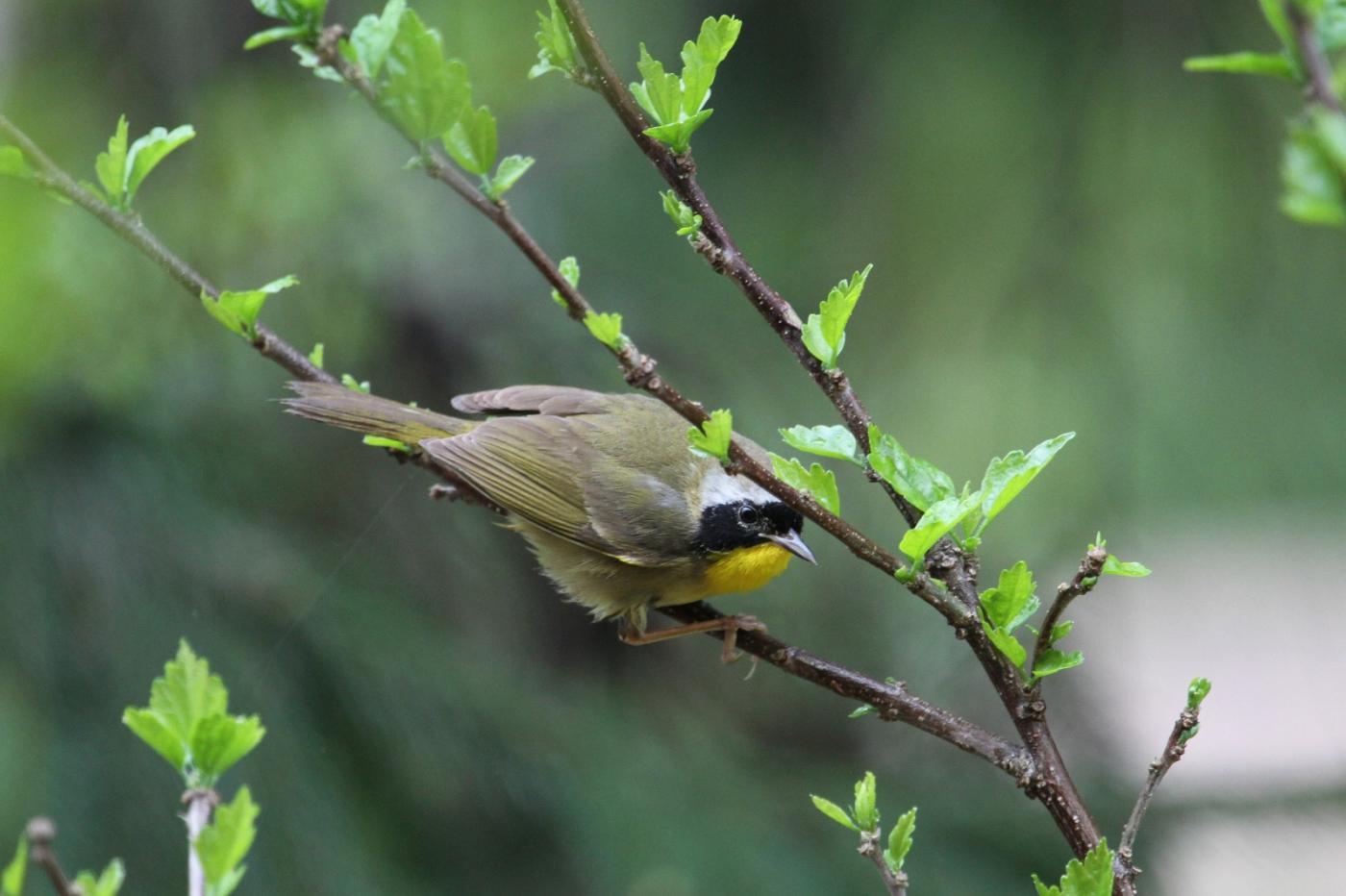【田螺摄影】雨后窗外的小黄鸟_图1-11