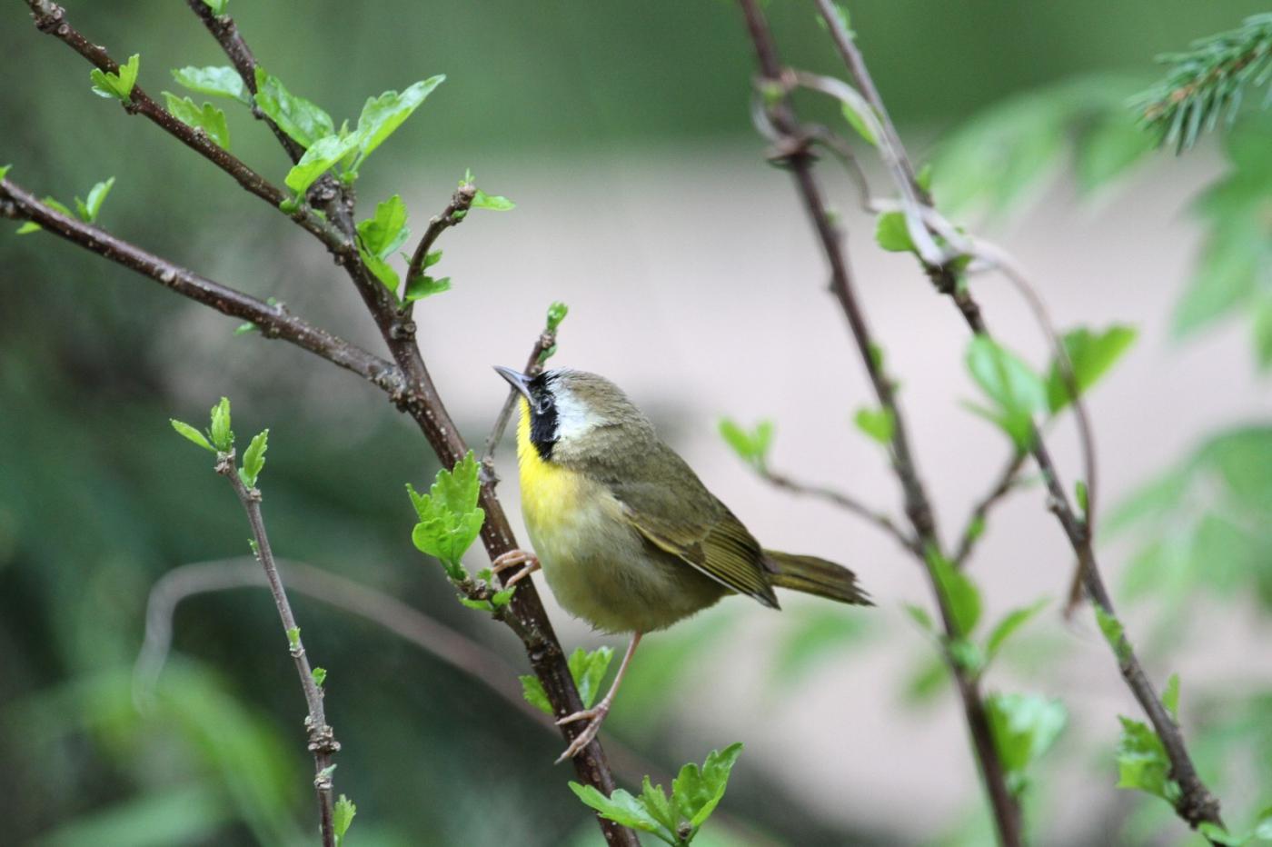 【田螺摄影】雨后窗外的小黄鸟_图1-12
