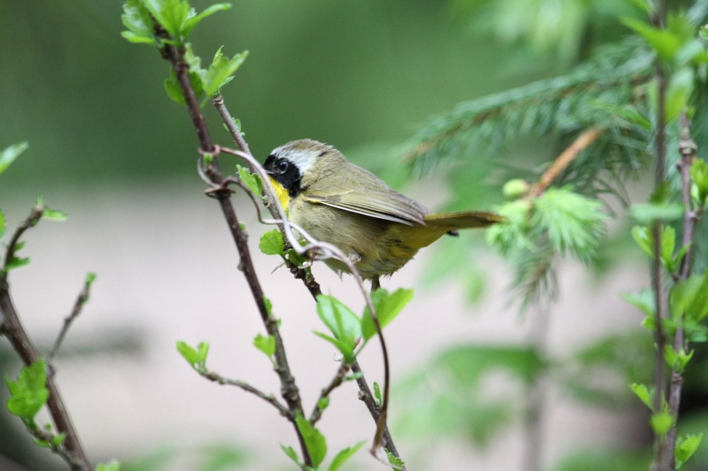 【田螺摄影】雨后窗外的小黄鸟_图1-13