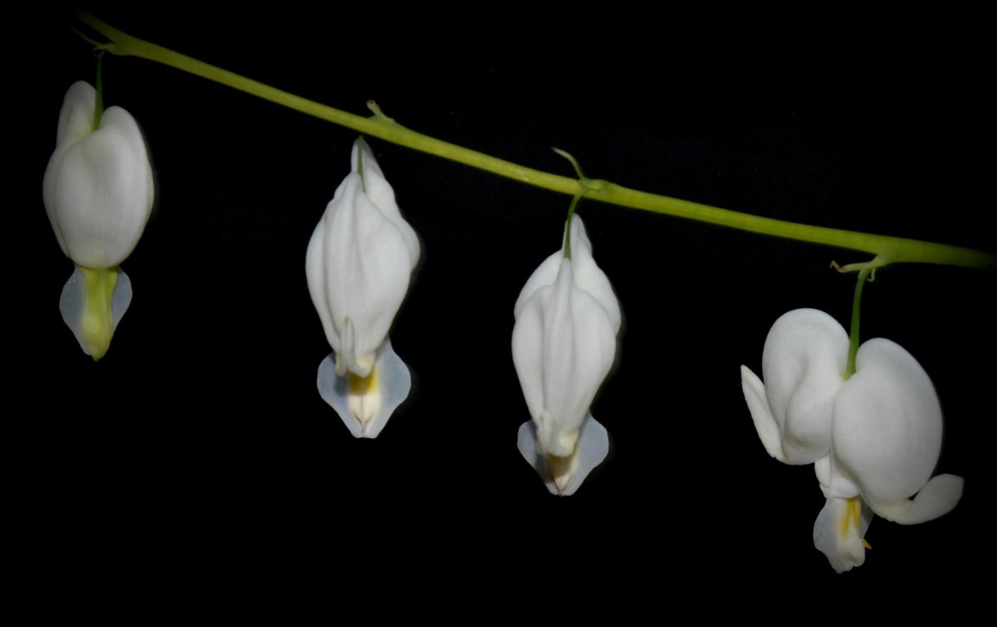 白花荷包牡丹_圖1-3