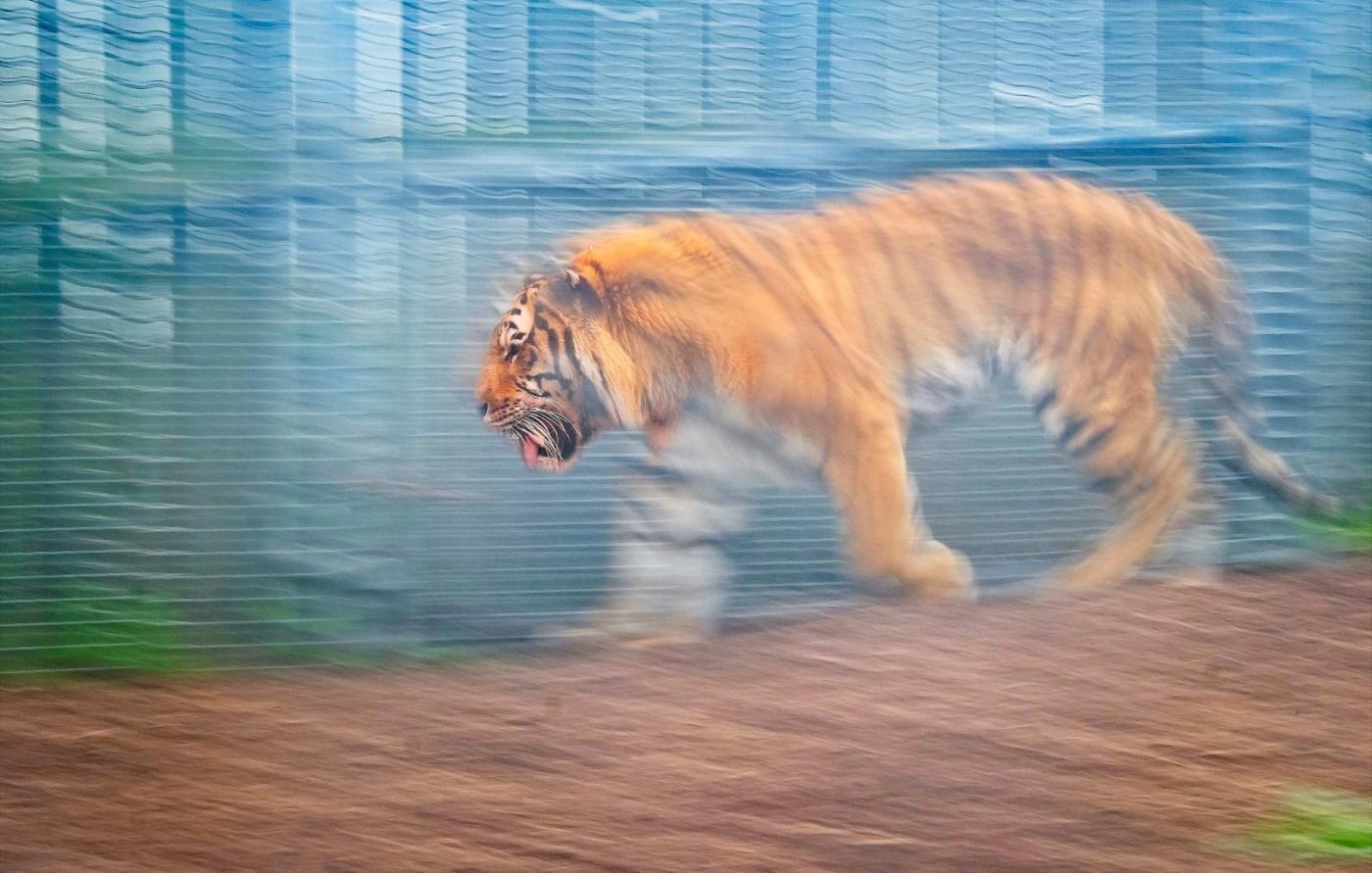 动物园拍虎记【心想事成】_图1-2