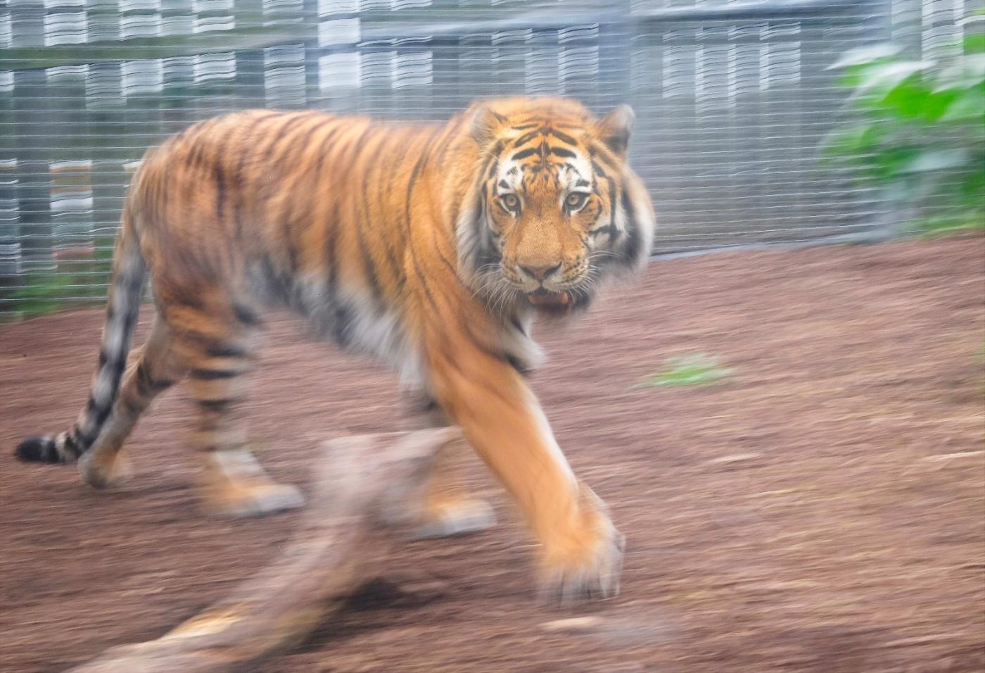 动物园拍虎记【心想事成】_图1-3