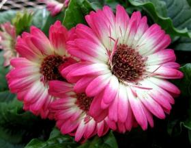 百花争春----雏菊 2